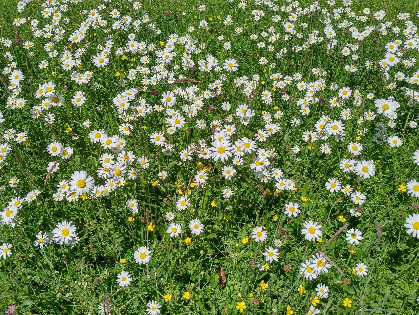 artenreiche Blühwiese